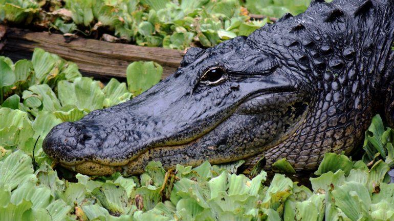Familieferie til Florida. Se alligatorer i Everglades